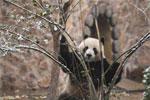 济南迎首场降雪 大熊猫雪中撒欢?