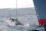 """日本计划4个月捕杀333条鲸鱼""""研究"""" 欧盟和12国谴责"""