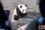 """日本上野动物园开建新熊猫馆 """"香香""""成""""香饽饽"""""""