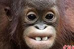 """笑一个!红毛猩猩幼崽咧嘴露出""""大板牙"""""""