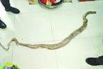 2米多长蟒蛇船内脱皮 船员:难怪老鼠少了猫狗没了