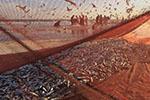 北海道大量沙丁鱼随流冰上岸 引来大批民众捡拾