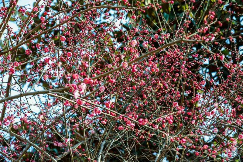 月湖公园的梅花盛开