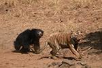 印度母熊保护小熊 勇战猛虎将其逼退