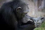 猩猩也抽烟!印尼动物园监管不力遭动保人士谴责