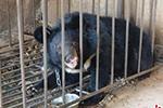 云南丽江一村民误把熊当狗养了3年