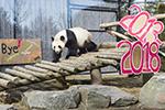 多伦多:最后一次看熊猫