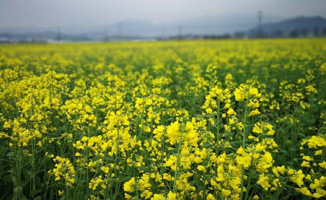 云龙镇500亩油菜花静静开放