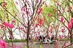 """杭州:白堤桃花竞相开 """"一桃一柳""""美景来"""