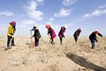 种植梭梭 增绿沙漠