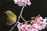 时隔103年!日本国内又发现新品种野生樱花
