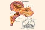 新人体器官意外被发现 有缓冲功能可助推癌症转移