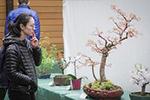 加拿大温哥华举办盆景展