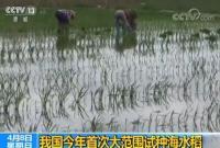 我国今年首次大范围试种海水稻 数亿亩盐碱地有望改良