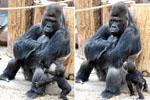 大猩猩双手抱胸靠坐地上拒绝和儿子玩耍