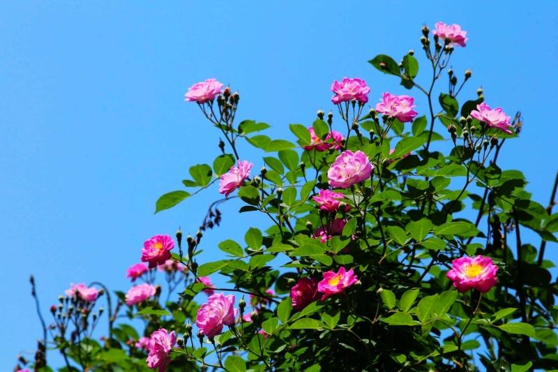 蔷薇花绽放