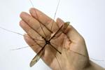 成都现翅展达11.15厘米巨型蚊子