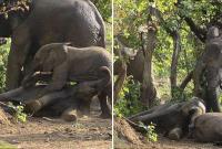 """南非两顽皮小象摔跤引大象上前""""劝架"""""""