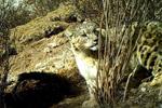 藏区阿尼玛卿地区首次记录到雪豹分食画面