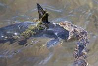 美摄影师拍到水蛇生吞鲶鱼全过程