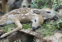 美国森林惊现一只双头畸形小鹿尸体