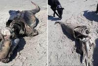 英海滩惊现1.5米长神秘生物残骸 脑袋修长