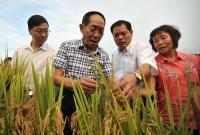 袁隆平团队再创佳绩!迪拜沙漠里竟种出了中国杂交水稻