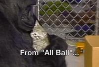 """懂手语、养过猫:大猩猩""""可可""""去世 享年46岁"""