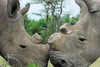 全球剩两头雌性北方白犀牛或得救 科学家造出南北杂交胚胎