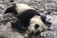 野生大熊猫幼仔溺亡 官方:把国宝全养起来不合初衷