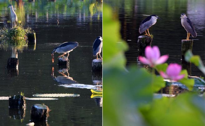日湖公园鹭鸟荷间戏、水上歇