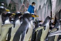 """企鹅""""奶爸"""" 照顾""""孩子们""""真不容易"""