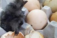 天气太热!韩国男子将鸡蛋放阳台 竟孵出小鸡
