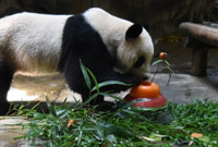 """杭州动物园熊猫""""成就""""和""""双好""""迎来四周岁生日"""