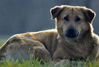 """成都启动犬只管理专项整治:""""中华田园犬""""等22种禁养"""