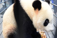 """熊猫姐妹花""""落户""""吉林长春"""