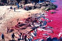 《海豚湾》播出9年后 日本将在原址重新开启海豚捕杀活动