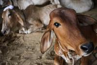 养孩子还是养牛?英媒:印度农村因反屠宰法而牛满为患