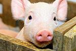 日本时隔26年又闹猪瘟 已停止猪肉出口