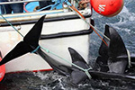 不死心?日本力促恢复商业捕鲸 遭多国齐声反对