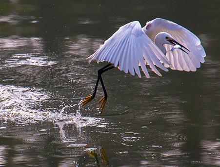 海曙西塘河:鱼虾欢腾白鹭飞
