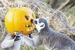 玩疯了 小狐猴把南瓜当帽子戴