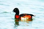 野鸭湖新增鸟类18种