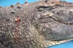 厦门鳄鱼被石块砸破头 动物园:肇事者就为试探死活