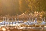 越冬大天鹅飞临山西平陆黄河湿地