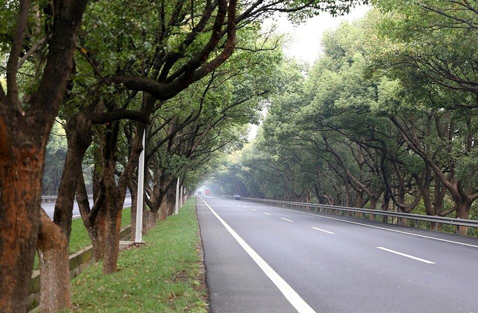 最美公路 香樟长廊