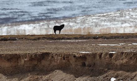 三江源国家公园首次拍摄到黑狼活动影像