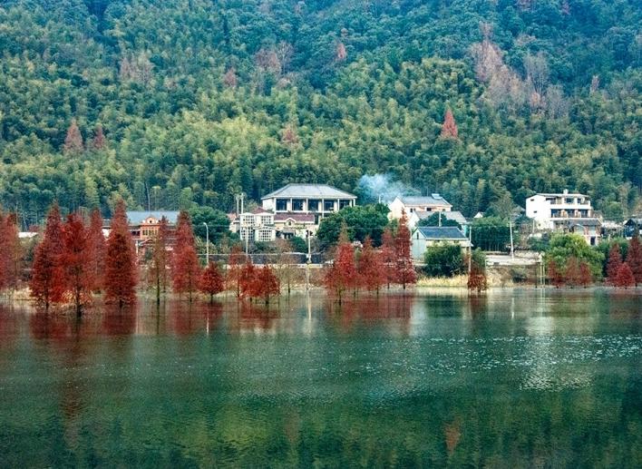雁湖水杉冬韵