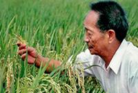 """一颗稻谷的""""中国贡献""""――袁隆平的追梦路"""