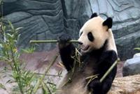 """大熊猫黄山""""安新家"""""""